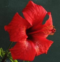 xmas red flower hibiscus