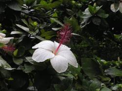 white hibiscus flower in the nature