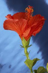 orange red hibiscus flower in size small