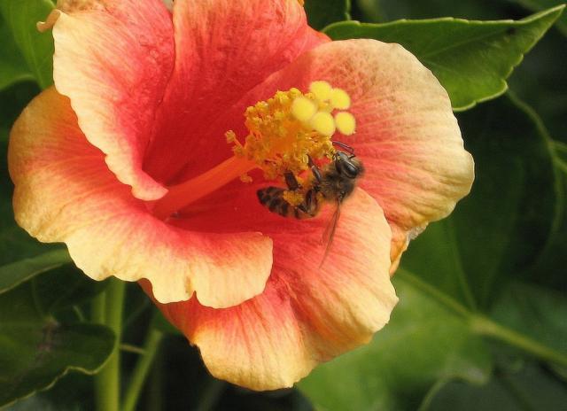 Dark Peach Hibiscus Flower With Bee Hi Res 720p Hd