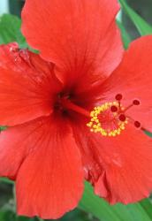 blood red flower hibiscus
