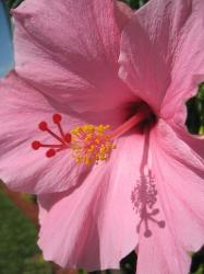 picture of hibiscus flower in light pink