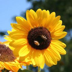 cute sunflower photo.jpg