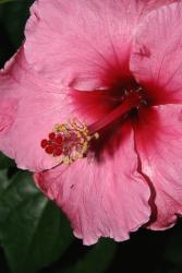 pics of pink hibiscus flower