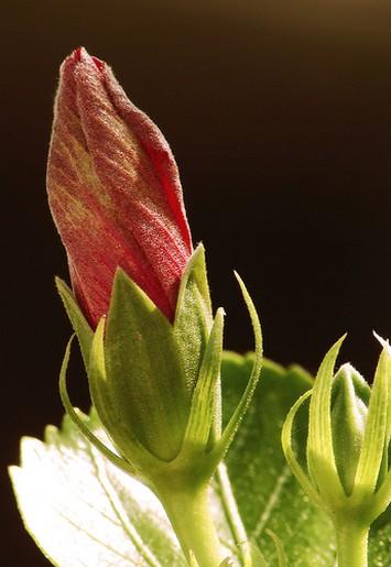Cute Bud Hibiscus Flower