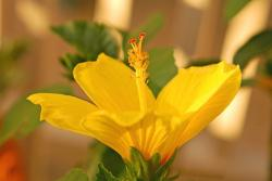 picture of golden yellow hibiscus flower