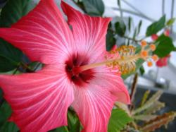 so pretty hibiscus flower