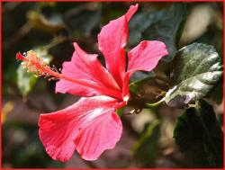 hibiscus flower in nature