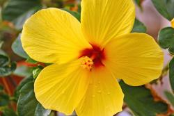 small hibiscus flower in bright yellow