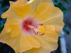 white and yellow hibiscus flower photo