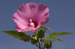 purple pink hibiscus flowers