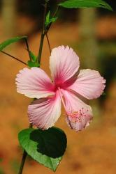 peach hibiscus flower in the summer day
