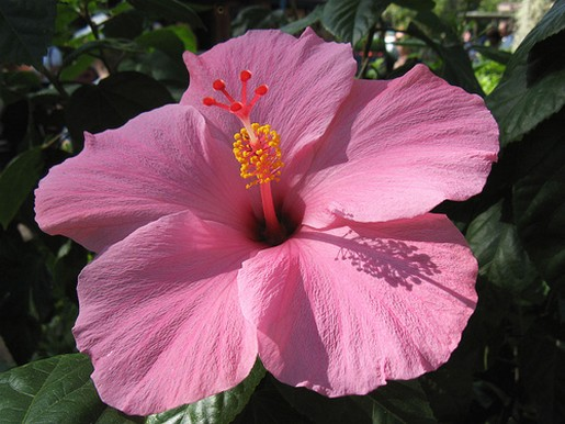Pink hibiscus flower in big size pretty pink hibiscus flower in big size mightylinksfo Gallery