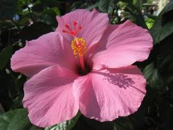 pretty pink hibiscus flower in big size