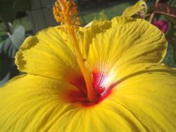goreous hibiscus flower in bright yellow