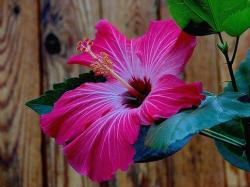 absolutely beautiful hibiscus flower