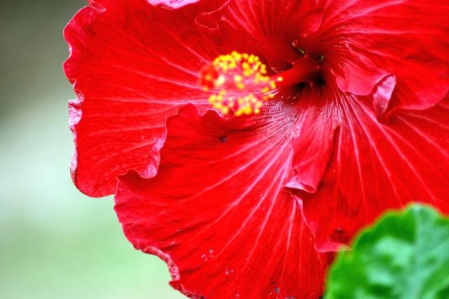 like bright red color flower remind of xmas