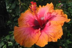 hibiscus flower pretty