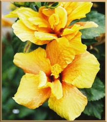 yellow garden flowers hibiscus