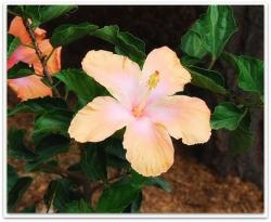 garden photo with peach hibiscus flowers