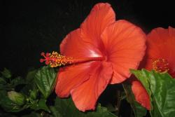 hibiscus flower looks like red christmas flowers