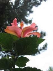 peach hibiscus flower pic