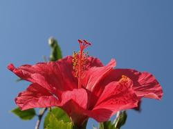 red hibiscus flower photos