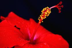 bright red hibiscus flower