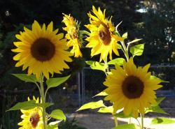 colorful sunflower.jpg