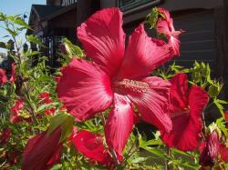 picture of garden flowers hibiscus