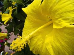 just bright yellow hibiscus flowers in garden