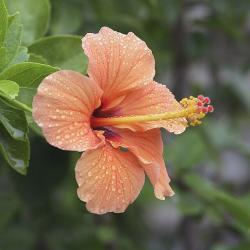 hibiscus flower in peach color
