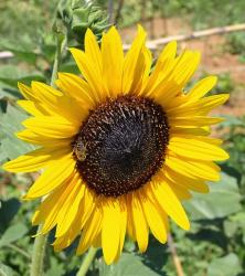 garden sunflower.jpg