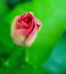 pink bud photo of hibiscus flower