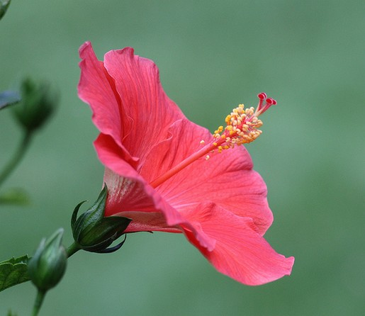 hibiscus flower in pink