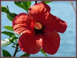 hibiscus flower in red