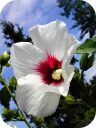 hibiscus flower in white with dark center