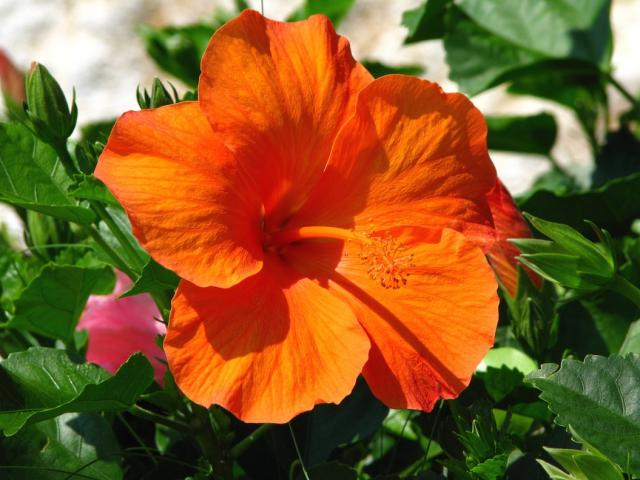 hibiscus flower in bright orange