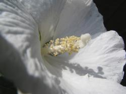 just white hibiscus flower