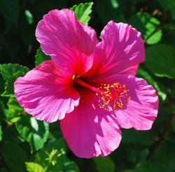very bright pink hibiscus flower photos