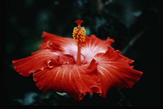orange white hibiscus flower