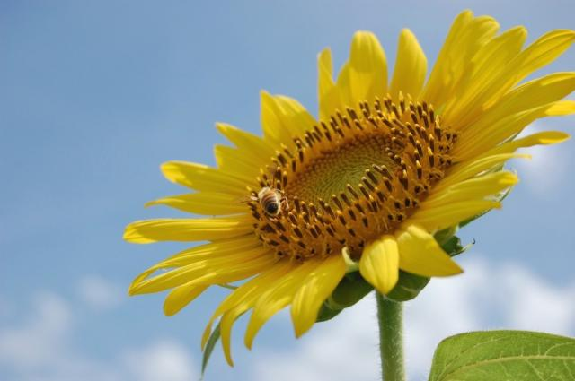 lovely sunflower.jpg