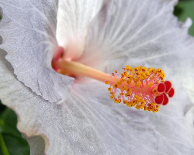 white hibiscus flower with orange center