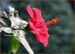 beautiful hibiscus flower in nature