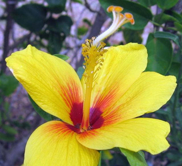 hibiscus flower in bright yellow