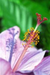 light purple hibiscus flower photo