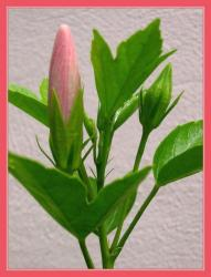 hibiscus flower buds picture