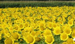 golden field of sunflowers.jpg