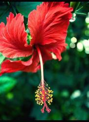 hibiscus flower in red with red leafs