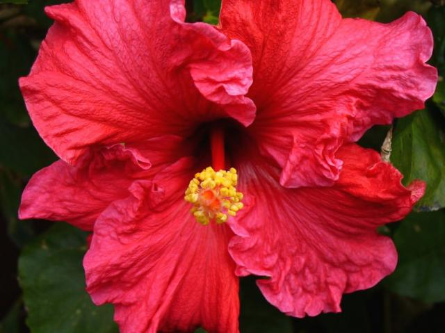 pink red hibiscus flower photo